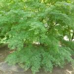 BZ Praha- Troja - Acer palmatum Wabito javor dlanitolistý