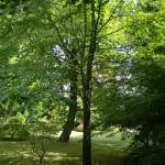BZ Praha- Troja- Cercidiphyllum japonicum - zmarličník japonský