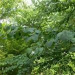 BZ Praha- Troja- Cercidiphyllum japonicum - zmarličník japonský list