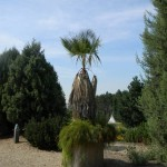 BZ Praha-Troja Washingtonia robusta