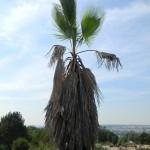 BZ Praha-Troja Washingtonia robusta2