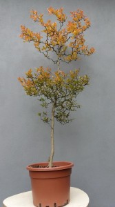 Flying dragon list podzimcely