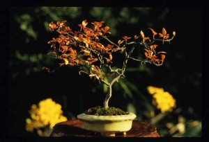 Flying Dragon bonsai