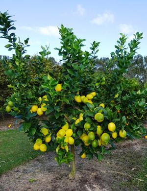 5 letý zákrsek odrůdy citrónu Eureka naroubovaný na podnož Flying Dragon.