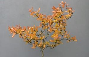 Obrázek Poncirus Trifoliata Flying Dragon s korunou připomínající letícího drakas korunou