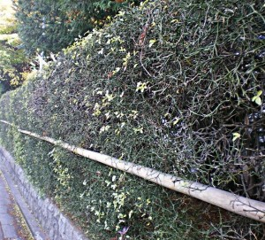 trifoliata plot2