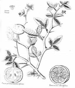 Amoenitatum Exoticarum kresba trifoliaty