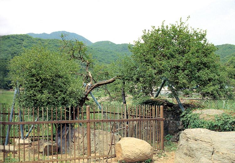 korea old trifoliata 79 sag-ri