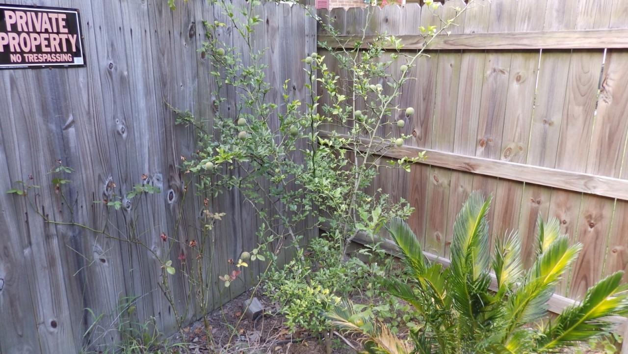 """Fast flowering poncirus trifoliata """"Laaz"""""""