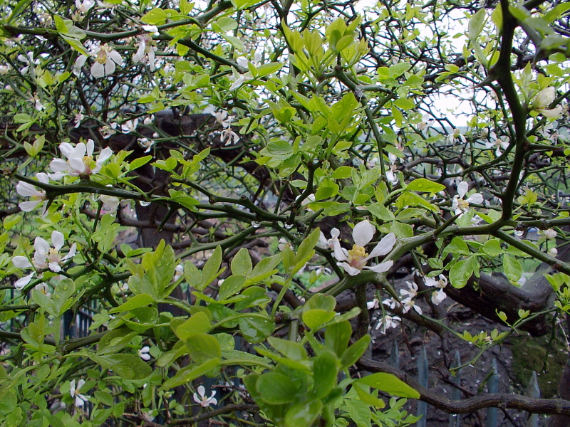 pt korea kvety na 400letém stromu