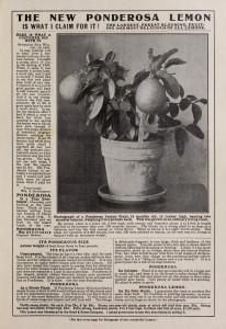 Ponderosa foto 1905, florist Ella V. Baines