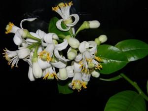 Citroník Ponderosa - hrozen květů