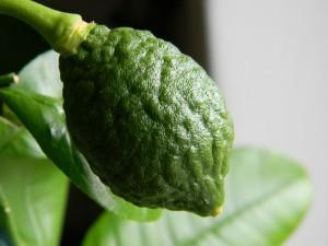 Ponderosa - zvětšující se plod