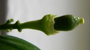 Ponderosa - malý plod po odpadnutí pestíku