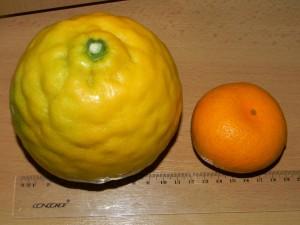 Srovnání velikosti plodu Ponderosa s mandarínkou