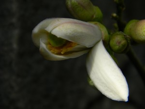 Ponderosa otevírající se květ