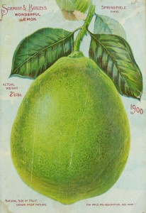 Ilustrace Odrůdy American wonder Lemon z katalogu Good & Reese, vol.1900