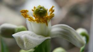 Ponderosa - opylený květ