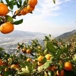 Nanfeng mandarin plantaže 1