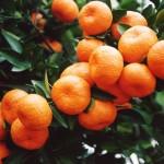 nanfeng orange600